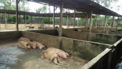 Photo of Indonesia siasat ratusan babi mati di Bali