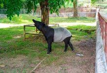 Photo of Perhilitan Johor selamatkan tapir jantan sesat di Jementah
